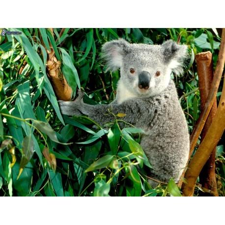 Eucalyptus -Eucalyptus globulus 30g
