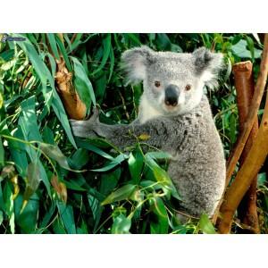 Eucalyptus - 30g