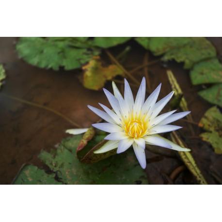 Lotus Bleu 5g - résine x100 - lys bleu – nymphaea caerulea