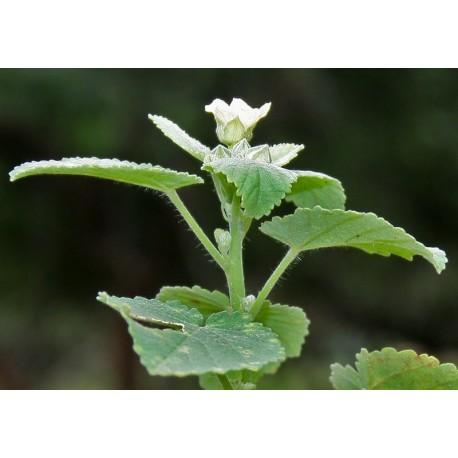 Bala 5g résine x100 - sida cordifolia ou mauve des sables