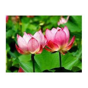 Lotus Rouge 5g résine x100 - lys rouge - nymphaea rubra
