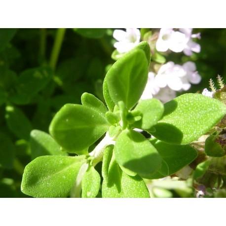 Thym Citron 30 grammes - plantes en vrac - Orion - thymus X citriodorus